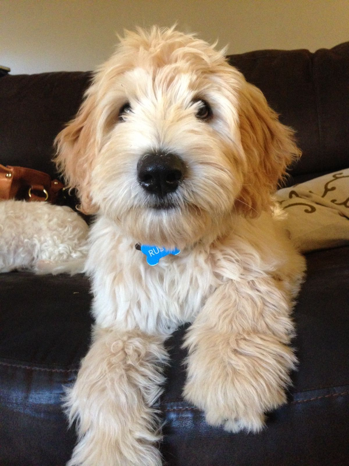 My Labradoodle Rusty Cute Dogs Baby Puppies Doodle Dog