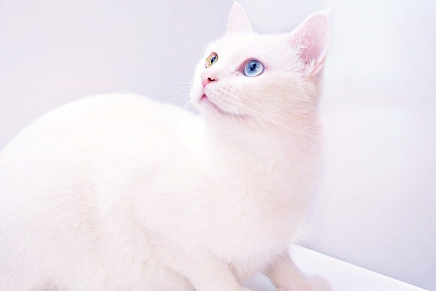 10 Most Asked Questions About Solid White Cats In 2020 Cat With Blue Eyes Funny Cat Faces