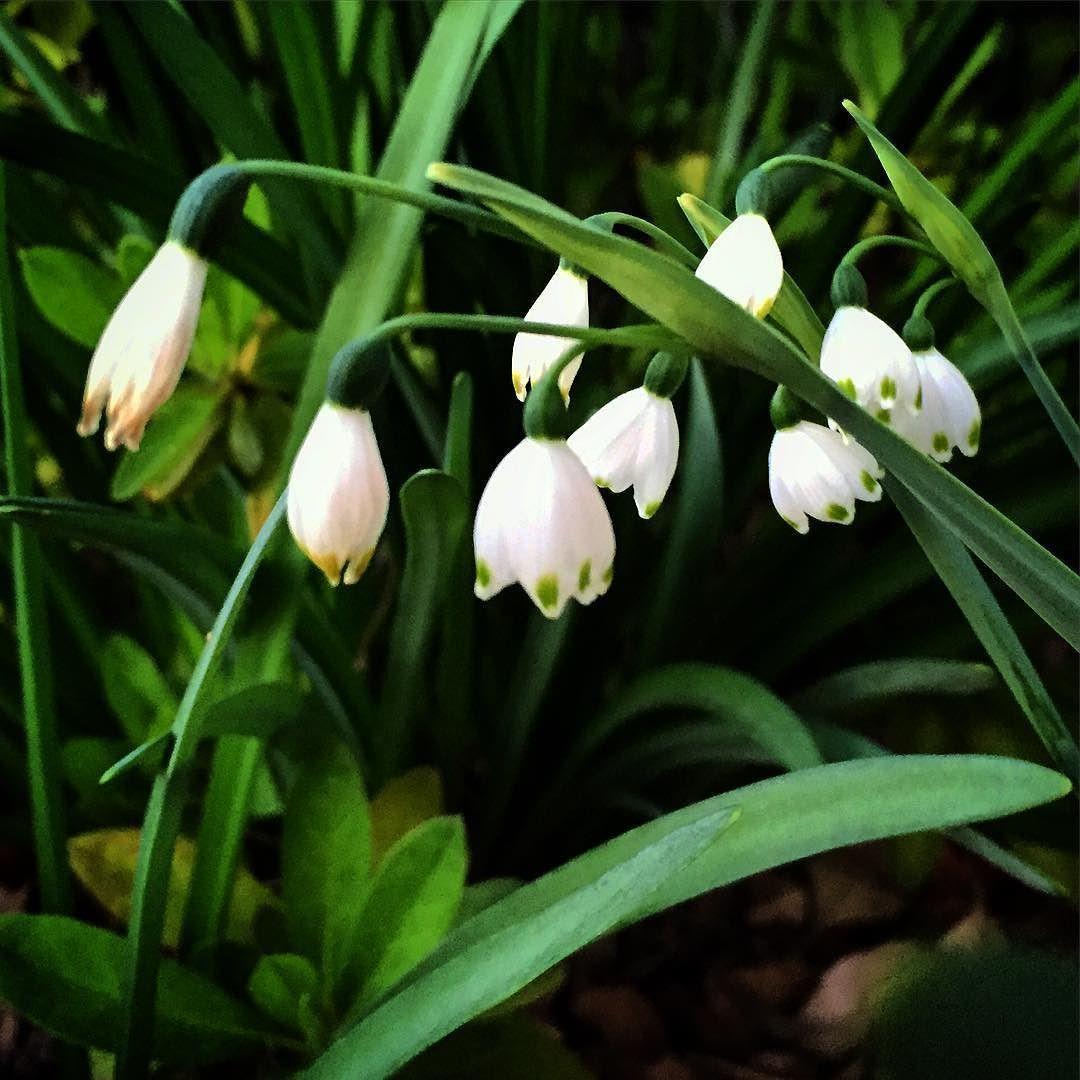 Snowflakes leucojum garden gardenersnotebook flowers plants snowflakes leucojum garden gardenersnotebook flowers plants white whiteflowers mightylinksfo