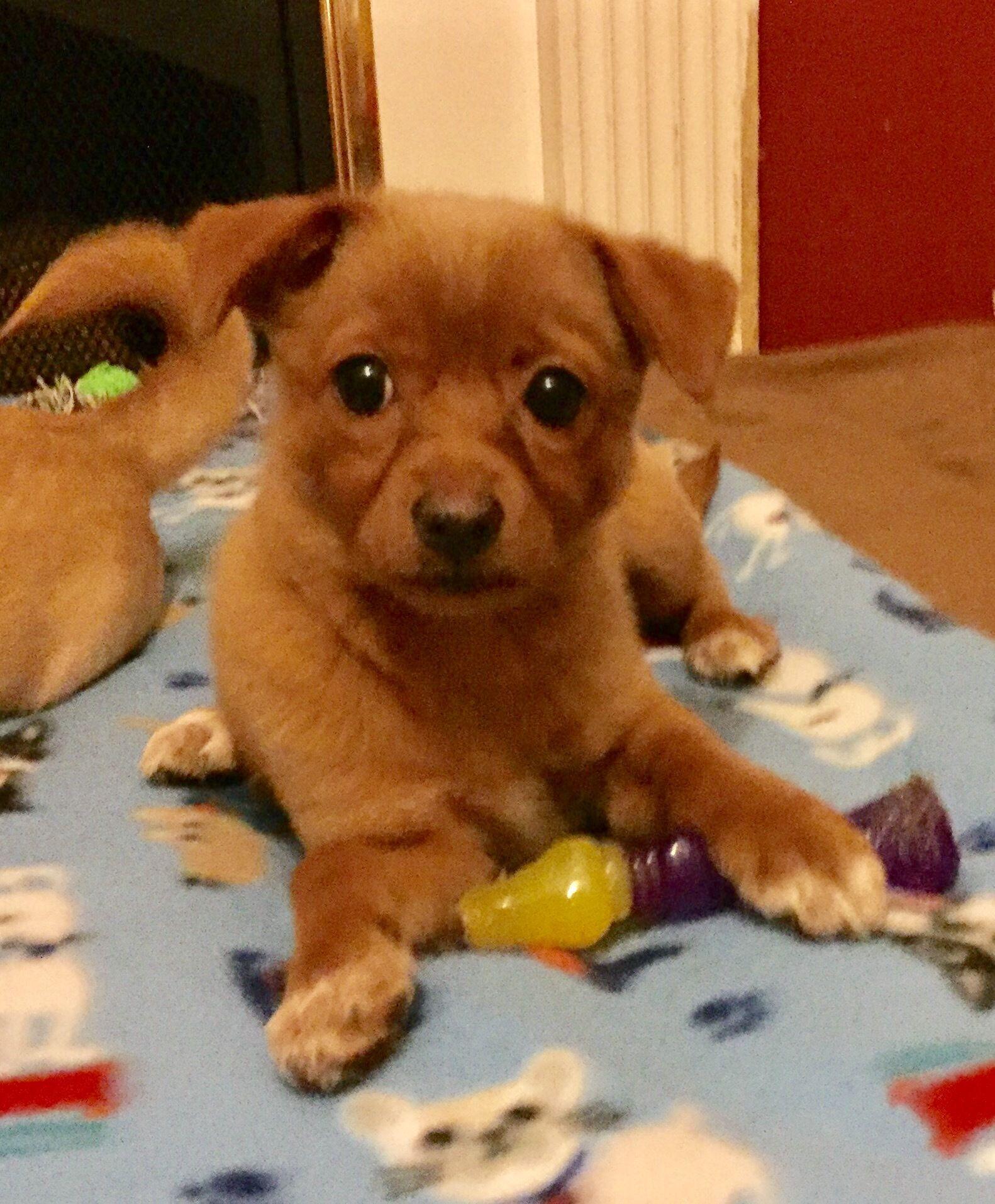 Adopt Jasmine on Dogs, Shiba inu, Animal rescue
