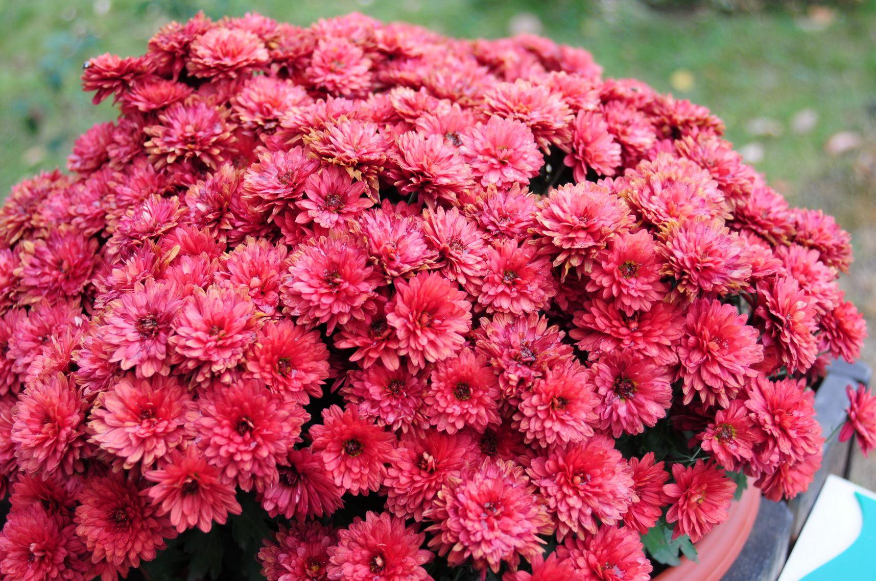 Imagini Pentru Flori De Toamna Flori Toamnă și Culoare