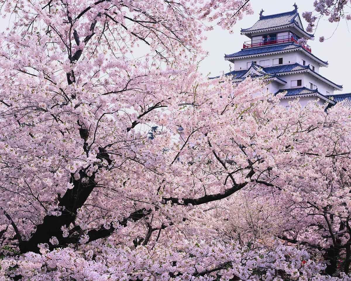 Paisajes Blancos Y Rosas De Los Cerezos En Flor De Japón