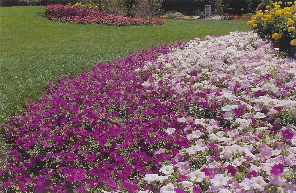 Wave Petunia As Ground Cover With Images Flower Wallpaper