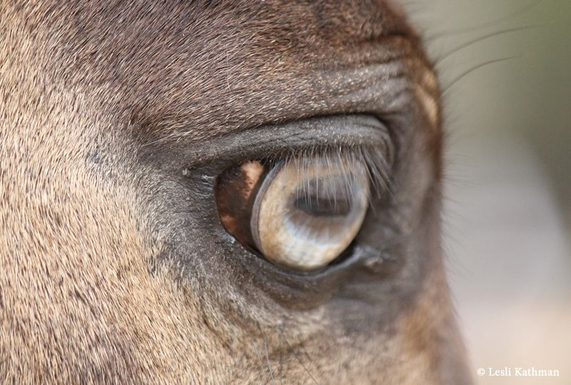 BlueNAmber (With images) | Blue eye color, Horse anatomy ...