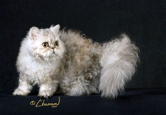 Selkirk Rex Cat Shorthair cats of this breed have dense