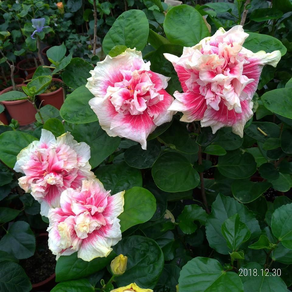 Hibiscus Flower Benefits In Hindi Hibiscus Hibiscus Hibiscus Tree Flowers