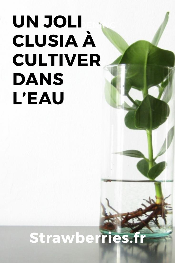 Plante Exterieur Qui Aime L Eau un joli clusia à cultiver dans l'eau | cultiver, aquaponie