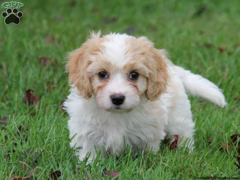 Cavachon Puppies For Sale In Pa Cavachon Puppies Puppies