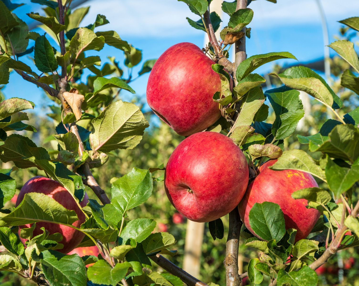 Early Pink Lady Apple Dwarf Fruit Trees Pink Lady Apples Dwarf Fruit Trees Fruit Trees
