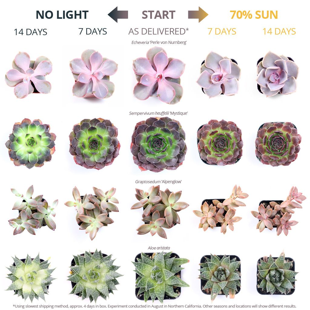 Photo of Using Sunlight to get Colorful Succulents