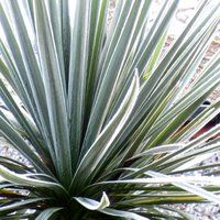 Spiky Plants for Container Gardening, Cordyline australis, Cabbage Palm