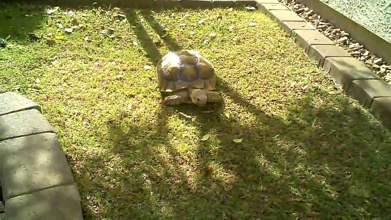 Sulcata tortoise habitat in Phoenix AZ Tortoise habitat