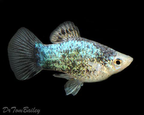 Platy Blue Spotted Tropical Fish Tanks Aquarium Fish Saltwater Aquarium Fish