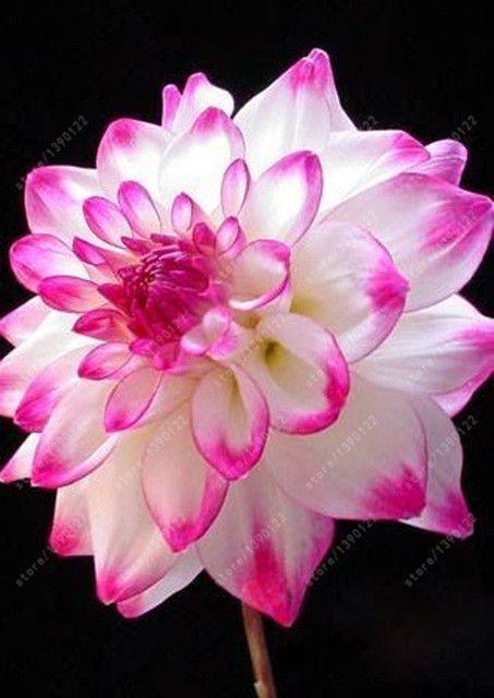 100 Pcs Bag Dahlia Flower Dahlia Seeds Charming Bonsai Flower Seeds Not Dahlia Bulbs High Germination Home G Schone Blumen Blumen Stauden Wunderschone Blumen