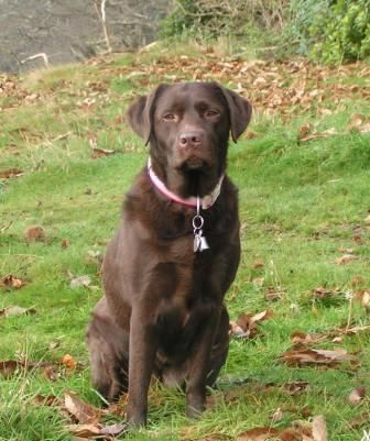 Chocolate And Black Labs Bing Images Labrador Puppy Training Labrador Puppy Labrador Retriever Puppies