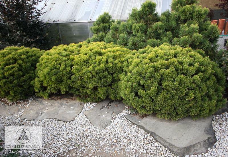 Pinus mugo 'Carsten' (P. mugo 'Carsten's Wintergold') Медленнорастущий сорт. Прирастает 5 –7 см в год. Хвоя короткая, густая, зелёная. Во второй половине осени начинает менять окраску на золотисто –жёлтую и сохраняет этот цвет до весны. Хорошо растёт на любой почве, на солнечных местах. Рекомендуется для небольших приусадебных садов, каменистых садиков, альпинариев, вересковых композиций, контейнеров. Прекрасный цветовой акцент зимой.