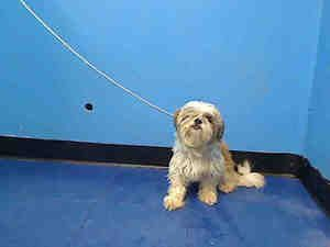 Dennis Is An Adoptable Shih Tzu Dog In New York Ny Small