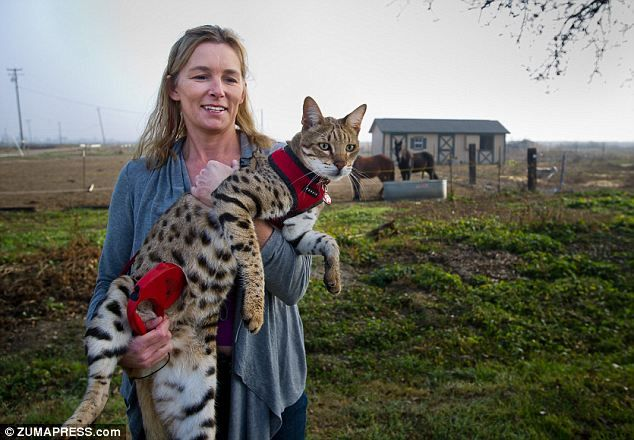 Meet Trouble The World S Tallest Cat Who Is Part African Wildcat But Is Docile As A Kitten Cat Has Fleas Cats Giant Animals