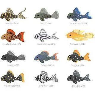 Small Plecos Google Search Zoria Julia Aquaria Aquarium Beautiful Coral Fish Fishporn Fishtank Freshwater Pet Fish Pleco Fish Animals For Kids
