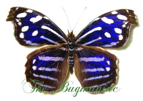 Nymphalidae : Myscelia cyaniris - The Bugmaniac INSECTS FOR SALE BUTTERFLIES FOR SALE INSECTS FOR SALE BUTTERFLIES FOR SALE BUTTERFLIES BY ECOZONE NEOTROPICAL ECOZONE NYMPHALIDAE