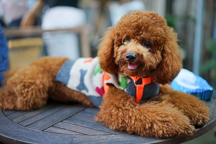 The Truths That Only Poodle Owners Know And Understand Poodle