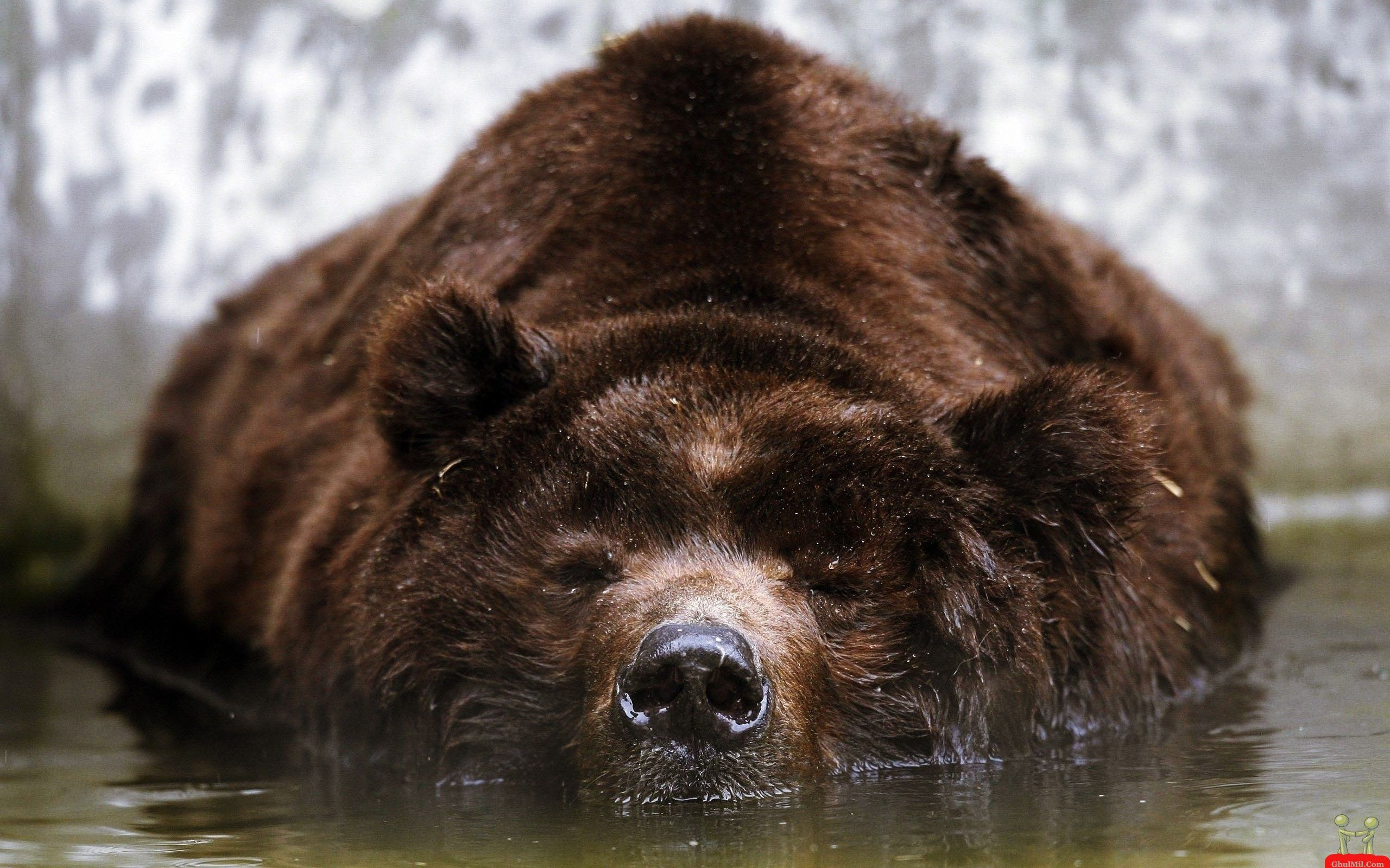 pinned bear | wallpapers funny brown bear in hunting style hd