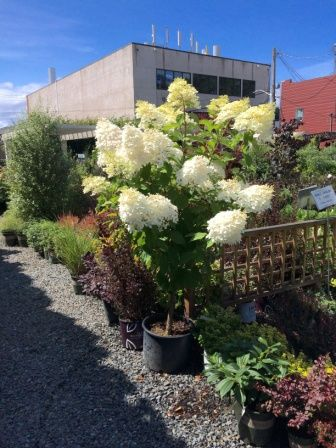 Phantom Hydrangea Tree Form Hot Sun Or Cold Shade Summer Fall Bloom Nw Specific