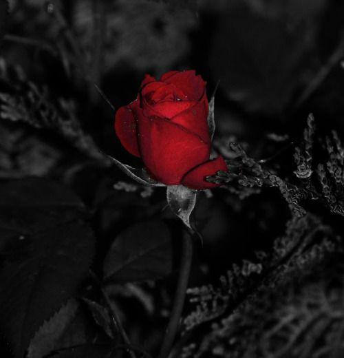 Epingle Par Lily Sur Roses Fleur Noir Et Blanc Fond D Ecran Telephone Fond D Ecran Rouge