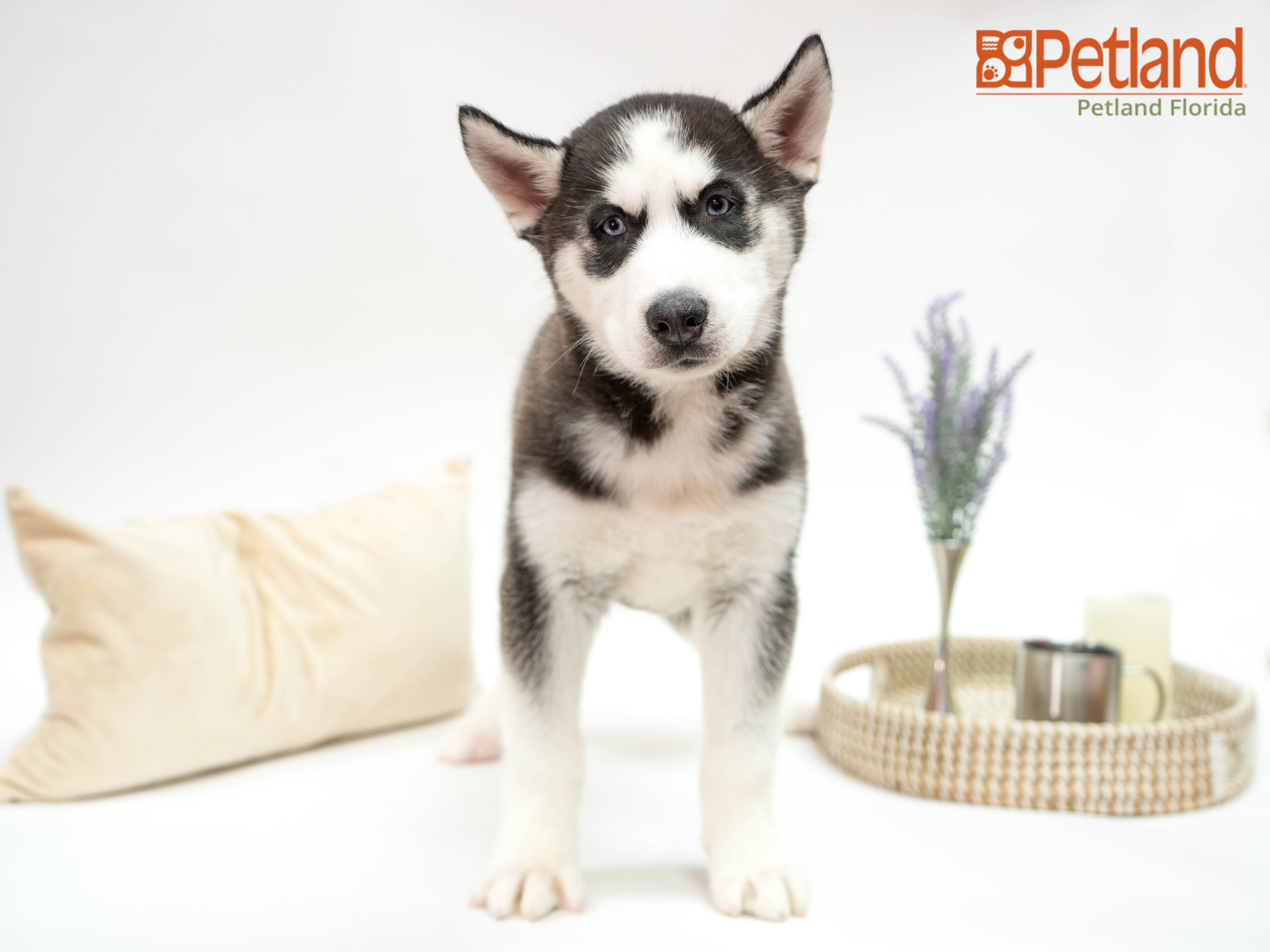 Puppies For Sale Husky puppies for sale, Dog lovers, Puppies