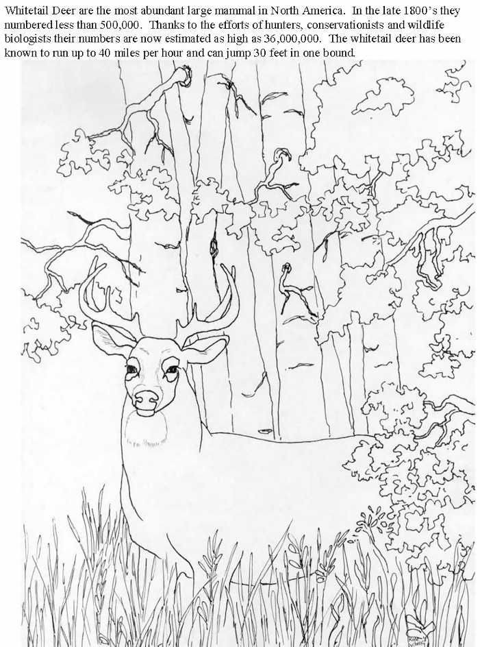 Texas White Tailed Deer Animal Coloring Pages Resolution 600 X 127 KB Png Size Another Pictures Of
