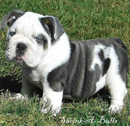 Grey And White English Bulldog Pup Bulldog Cute Animals Blue