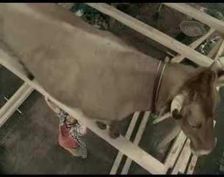 Heavy as a Cow | Cow Cuddling
