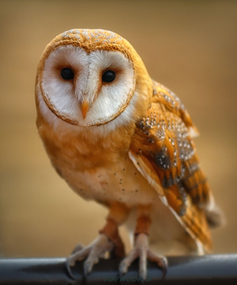 Barn owl(Tyto alba) indigenous to all continents. by Jaewoon