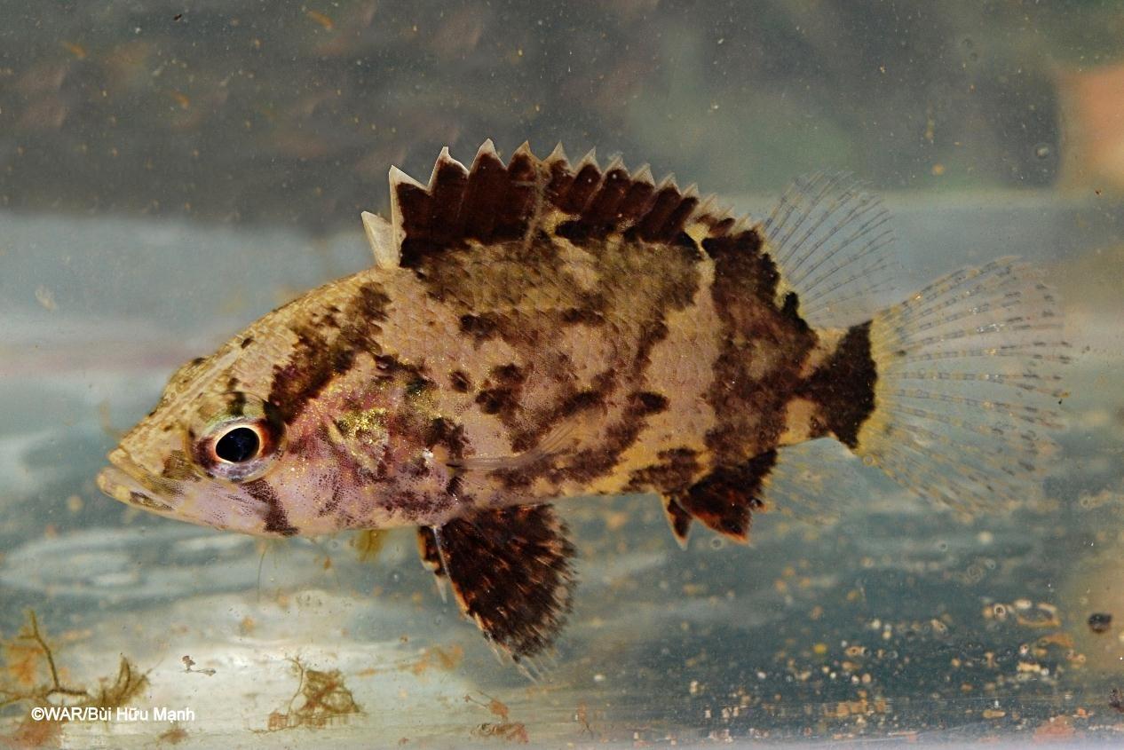 Leaf fish, Monocirrhus polyacanthus, Amazon leaffish,  South American leaf fish