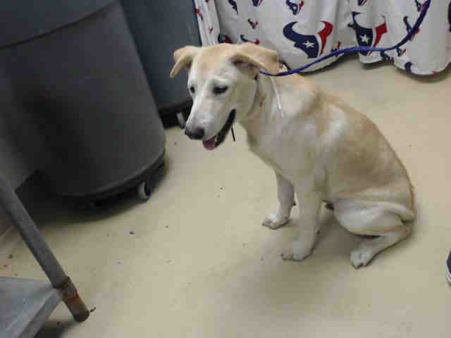 This Dog Id A467404 Urgent Harris County Animal Shelter In Houston Texas Adopt Or Foster Male Yellow Labr Animal Shelter Dog Adoption Puppy Adoption