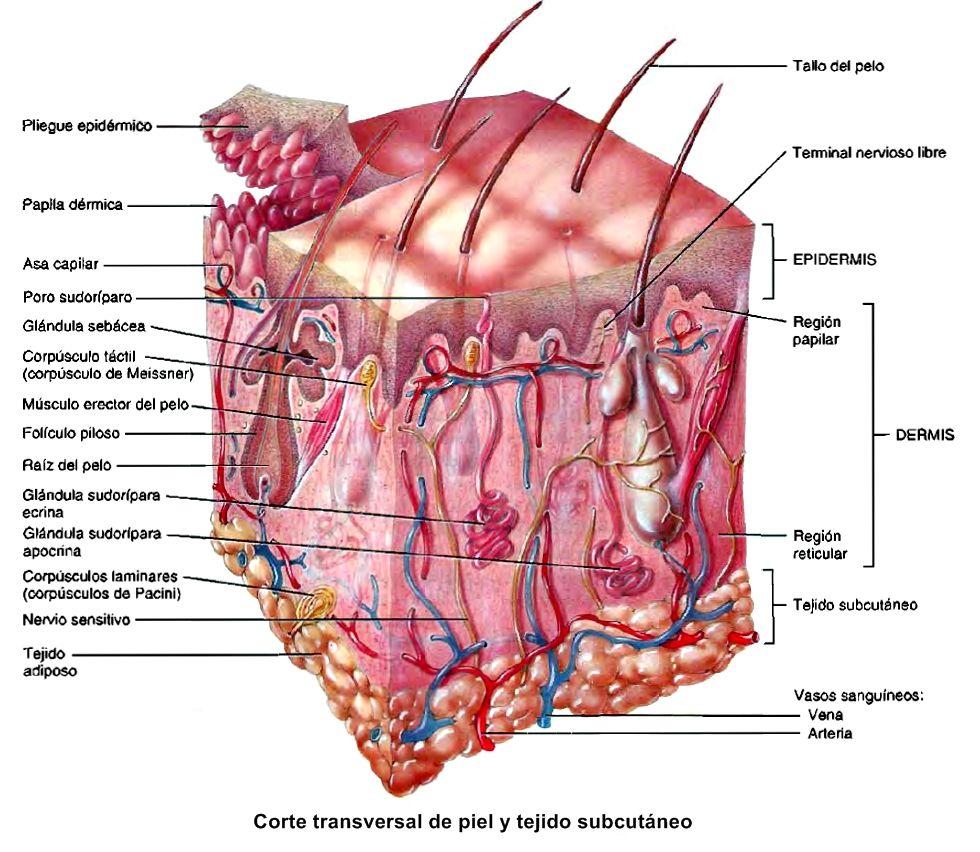 Estructura de la piel ~ Temas de estudio para la anatomía humana ...