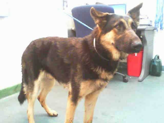 RANGER (A1674039) I am a male black and tan German Shepherd Dog. The shelter staff think I am about 3 years old and I weigh 67 pounds. I was found as a stray and I may be available for adoption on 01/25/2015. — Miami Dade County Animal Services. https://www.facebook.com/urgentdogsofmiami/photos/pb.191859757515102.-2207520000.1422091910./914703815230689/?type=3&theater