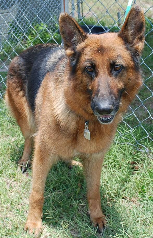 Needs Adoption Or Rescue Commitment Asap D 0274 German Shepherd