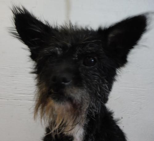 11/05/13 Digger is guess to be a 10 year old wirehaired terrier. She was rescued from St. Louis County Animal Control. She is a senior girl now looking for a new home. Digger is very sweet, is a lap girl, and loves the shelter workers with Partners....