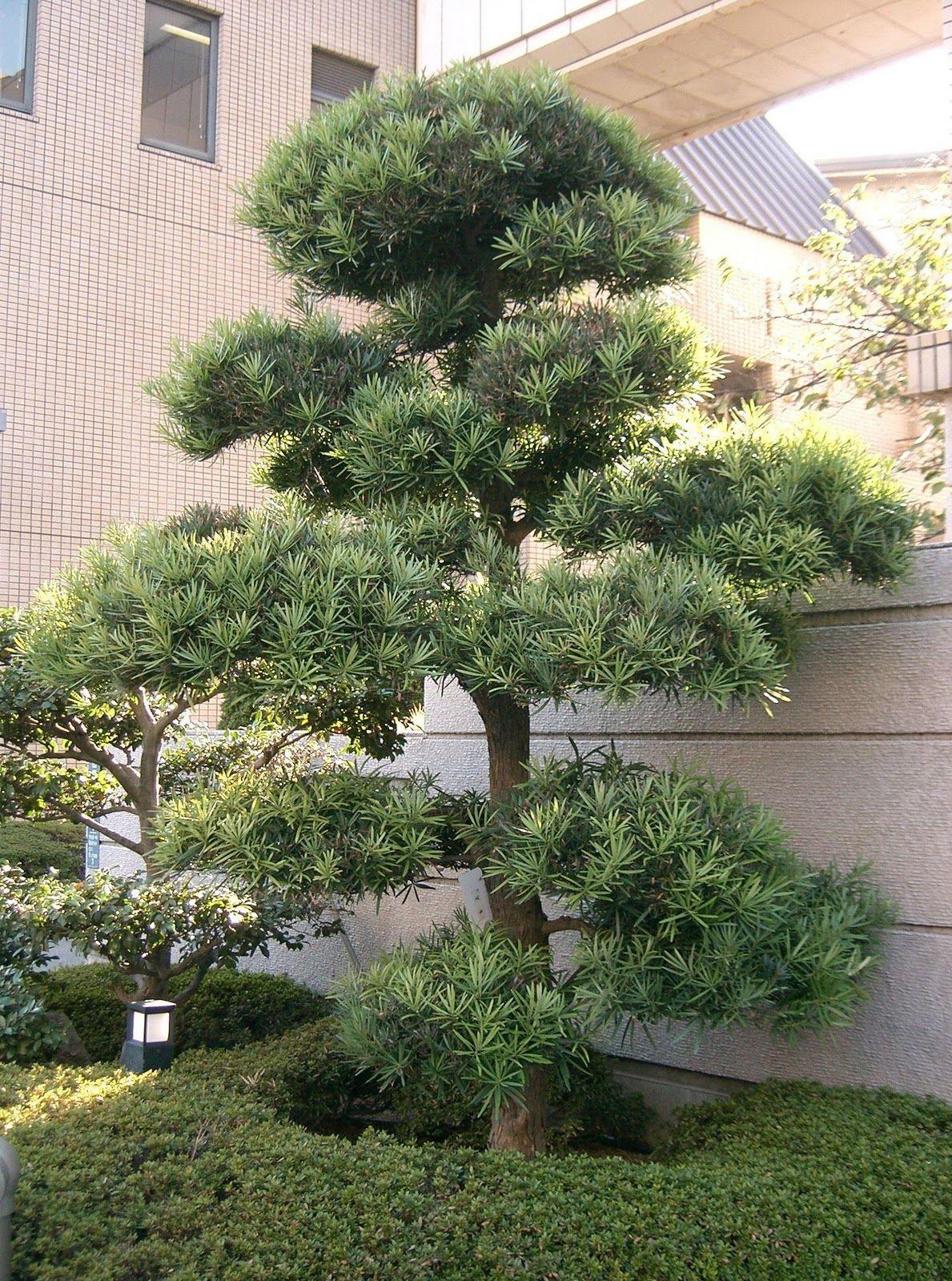 Shrub id podocarpus macrophyllus yew pine garden for Small garden trees for sale