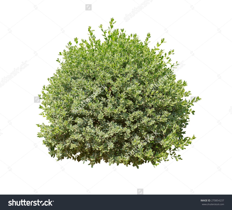 Green Bush Isolated On White Background Stock Photo ...