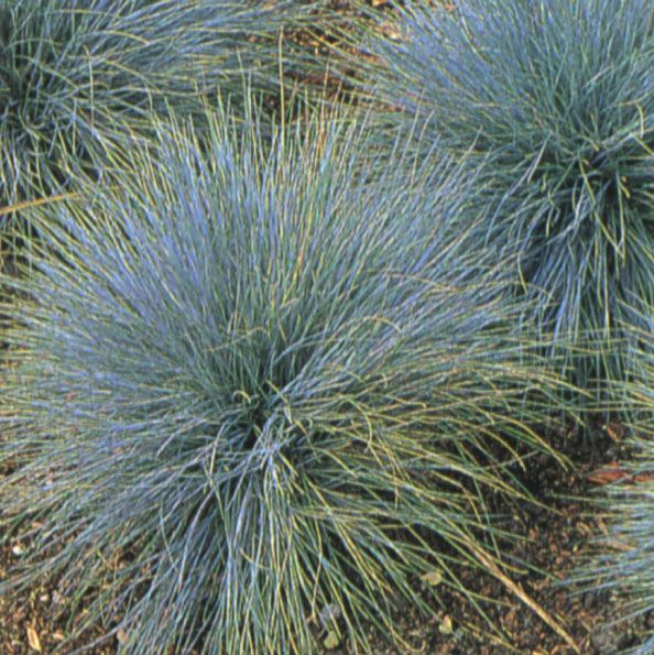 Elijah blue fescue festuca glauca 39 elijah blue 39 grass for Short variegated grass