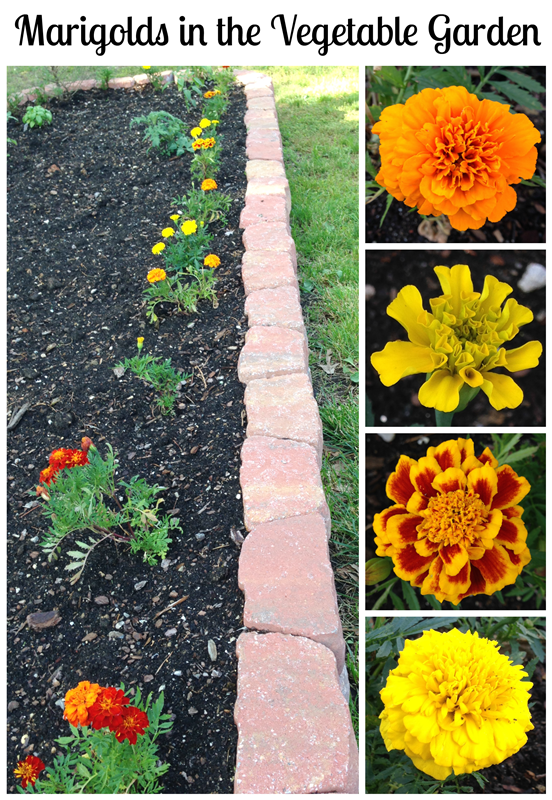 Marigolds in the Vegetable Garden Yes – What to Plant in Your Vegetable Garden