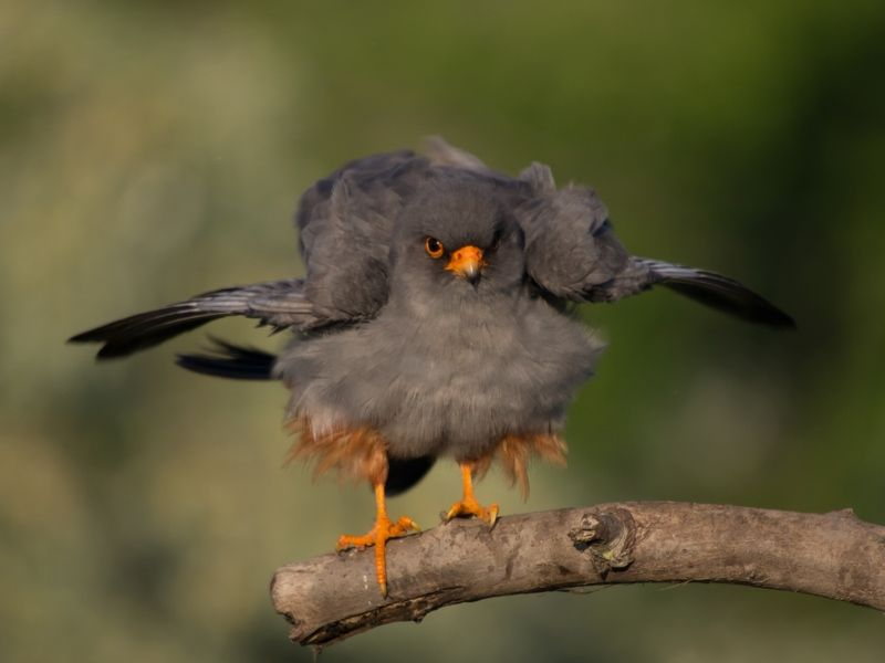 Red-footed falcon        (photo by ecotours)