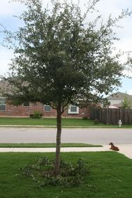 When To Trim Live Oaks