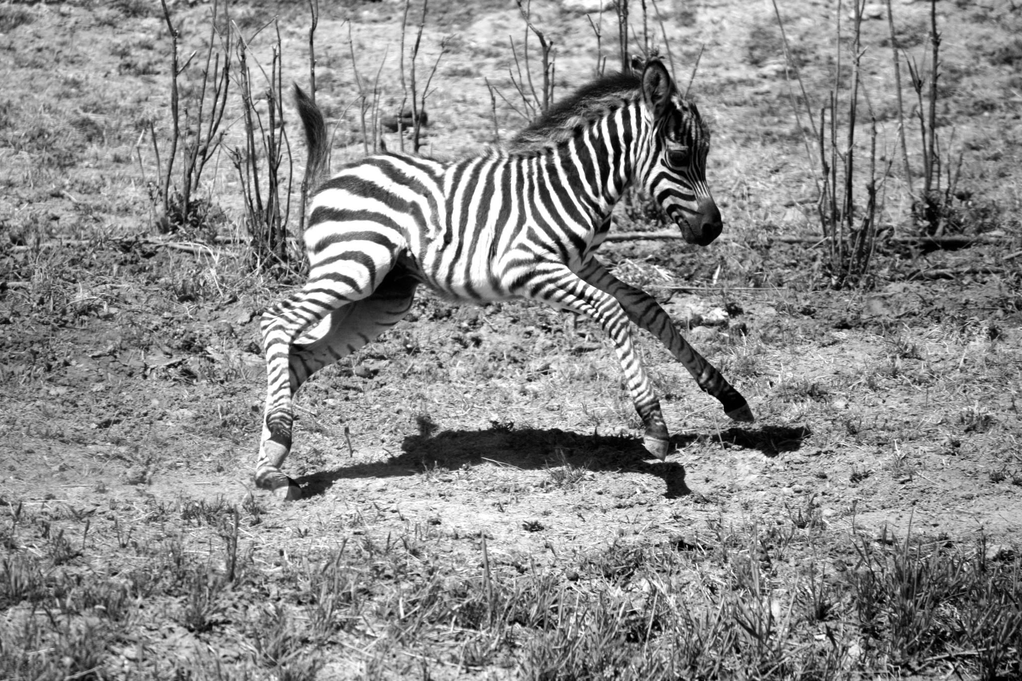 Baby zebra running  By my daughter, cecilia mezzanotte