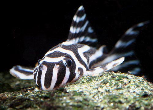 Zebra Pleco Hypancistrus Zebra Currently Around 400 Due To Laws Regarding Their Export Its Illegal An Fresh Water Fish Tank Aquarium Fish Freshwater Fish