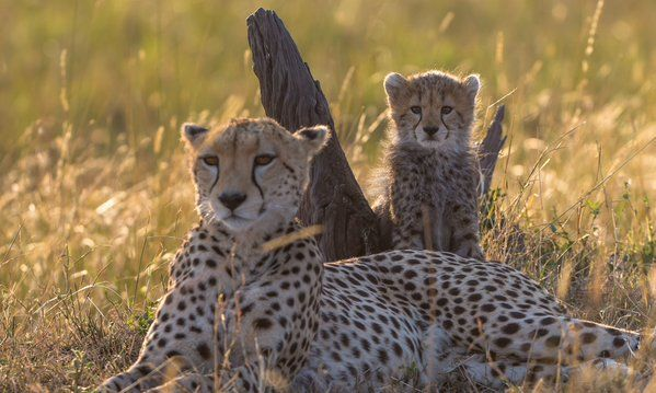 Cheetahs migrated from North America to Africa 100,000 years ago.