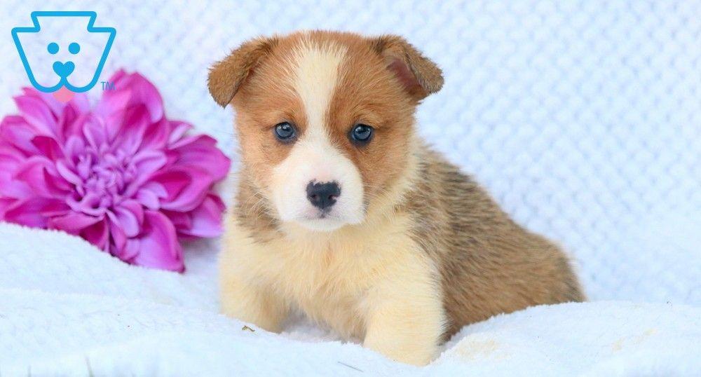 blue merle corgi puppies for sale uk
