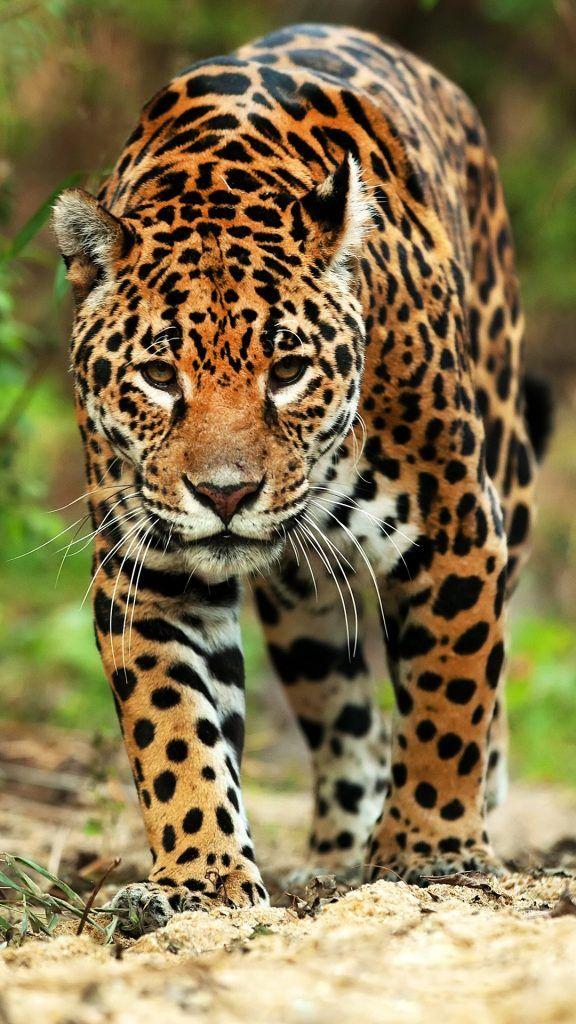 Jaguar (Panthera onca) closeup, Brazil Jaguar, Animals